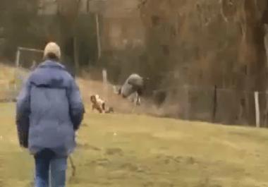 YouTube - Ostrich Attacks Kid!